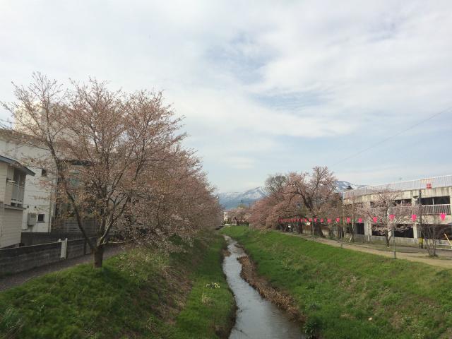 新幸橋からの桜・4月13日
