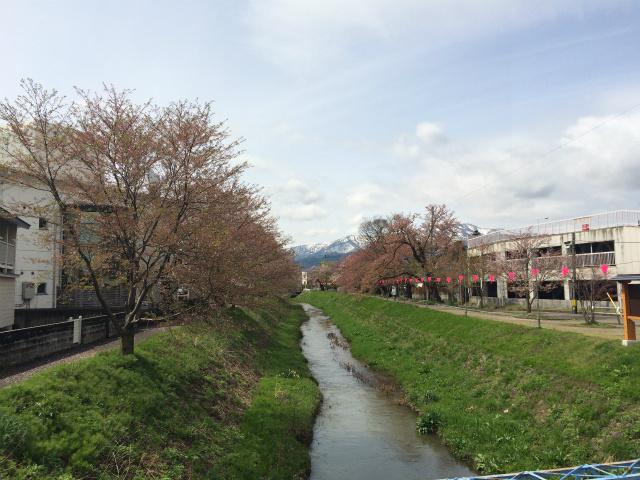 新幸橋からの桜・4月14日