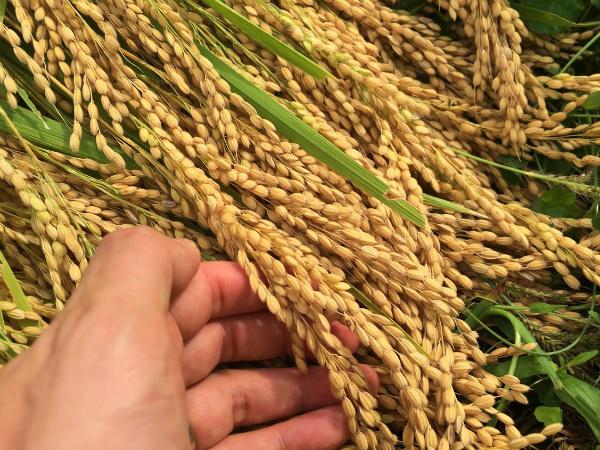 千代の光 越淡麗収穫2016