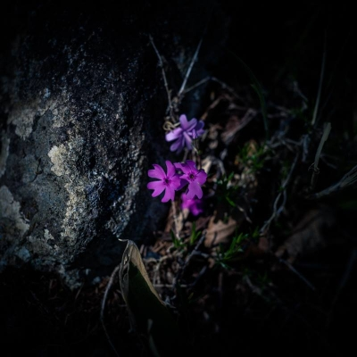 庭のシバザクラが久しぶりに咲きました。