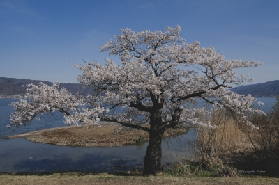 諏訪湖は桜が満開です