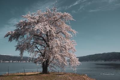 諏訪湖の桜が満開でした。