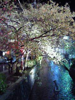 高瀬川沿いの桜。