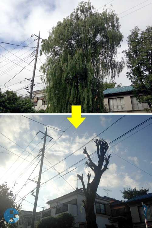 柳巨木枝おろし前と後