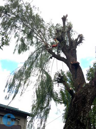 樹下を配慮しつつ枝おろし