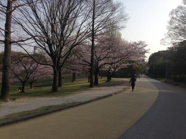 春日公園 桜