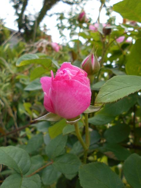20200523薔薇