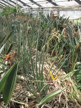 黄花予定系中間種