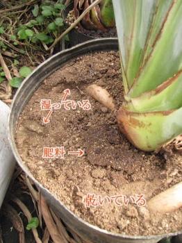 ジャンセア開花株の鉢土表面