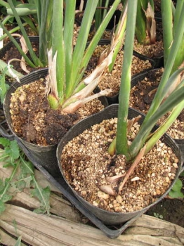 レギネー開花株の鉢土表面