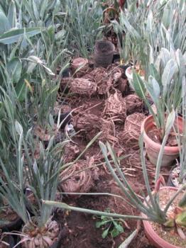 根鉢の様子