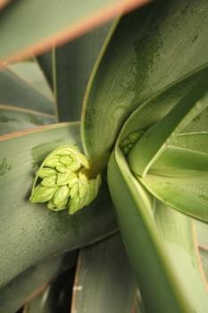 花芽の様子2