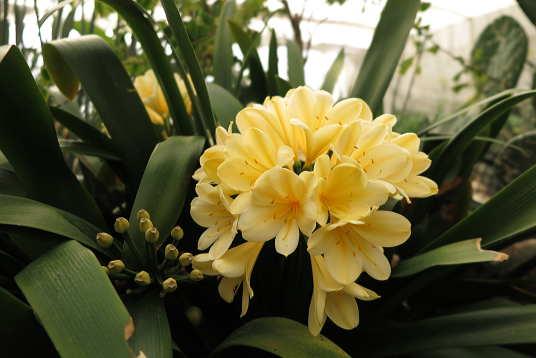 黄色花君子蘭