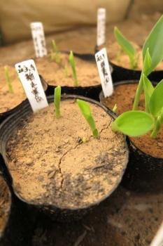 丸葉系中間種苗