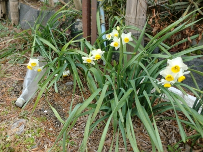 水仙の花1