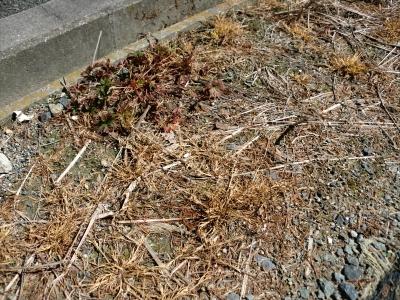 除草剤の効果3