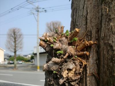 樹の芽吹き1
