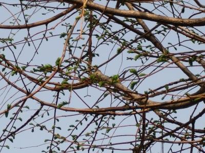 樹の芽吹き2