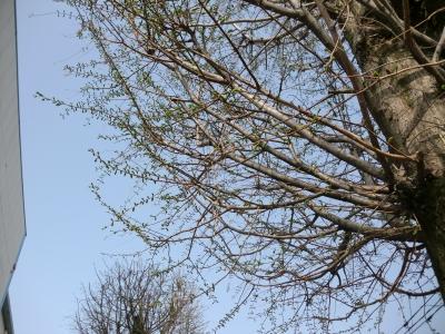 樹の芽吹き3