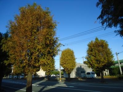 街路樹紅葉2