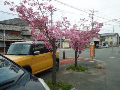 サクラの花1