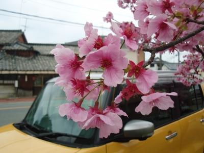 サクラの花3