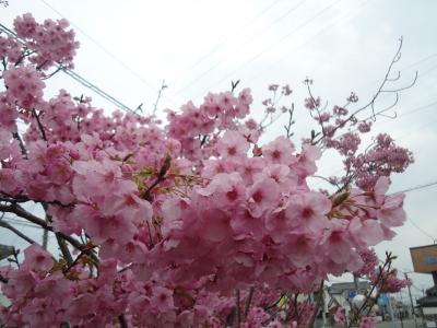 サクラの花4