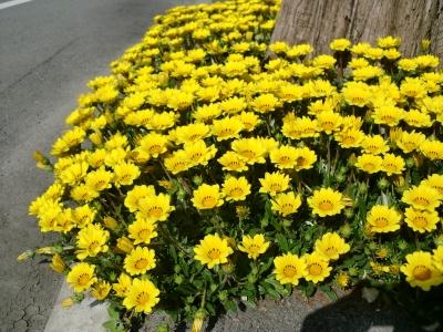黄色い花4