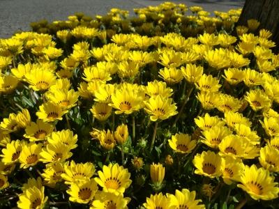 黄色い花6