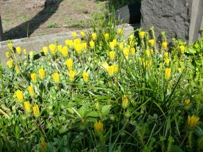 黄色い花9