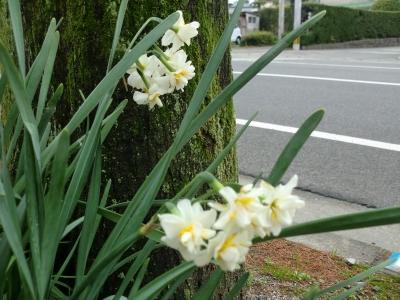 水仙の花2