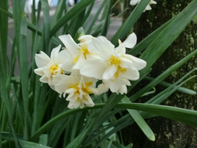 水仙の花3
