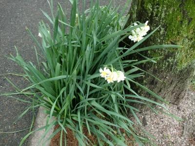 水仙の花5