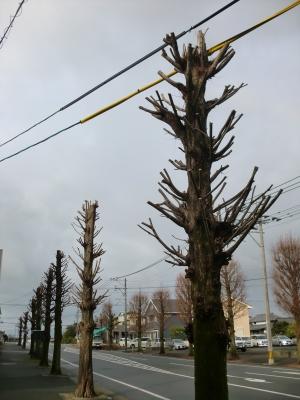 街路樹の剪定7