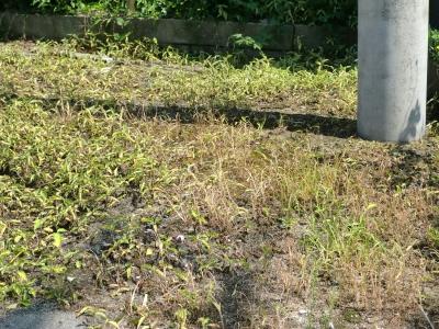 除草剤の効果4