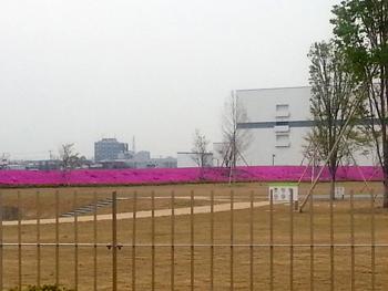 大鵬新工場芝桜