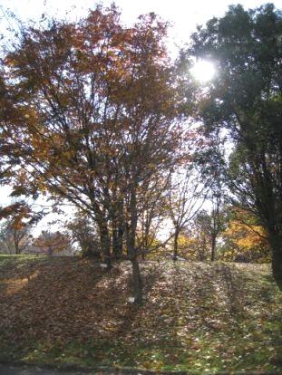 すいとぴあ江南の紅葉した樹木たち。朝日に照らされてキラキラしていた。