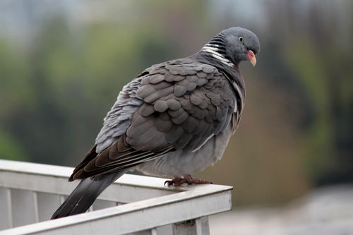 pigeon-7