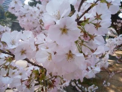 2018徳島市の桜