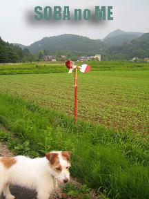 蕎麦の芽畑