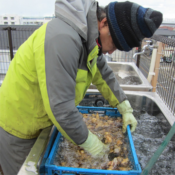 菊芋洗浄作業2013年