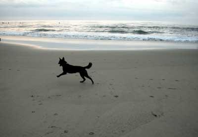 誰もいない砂浜で大はしゃぎするミミ(甲斐犬 1歳)