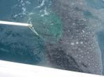 ジンベイザメ赤ちゃん/遠州灘にて