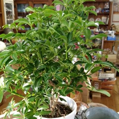 カポック,観葉植物