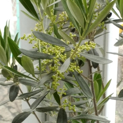 オリーブの木,花,蕾