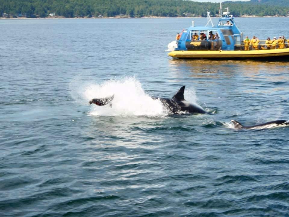 シャチ vancouver orca アザラシ