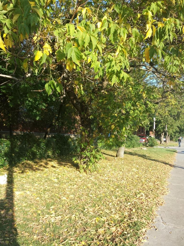 モントリオール 紅葉 黄葉