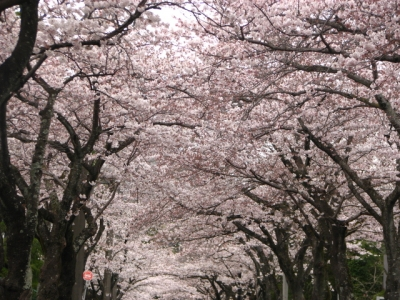 伊豆高原桜のトンネル完成