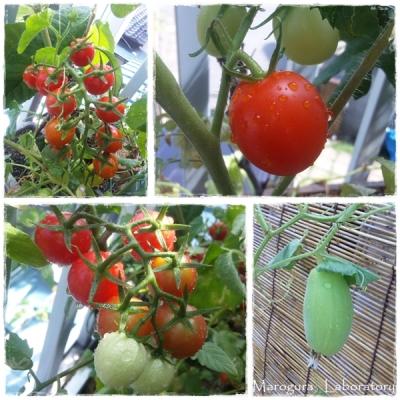 トマトの収穫&はぐら瓜
