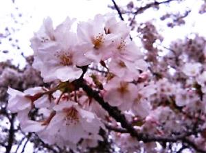 サクラ咲く2006